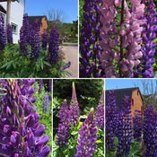 Lupin Love In Alma , NB 💜