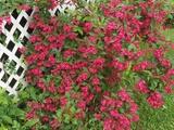 fleurs de printemps - Saint-Stanislas-de-Champlain, QC