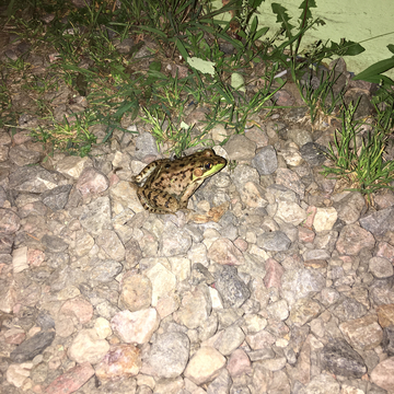 little frog came to visit