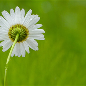 Wet daisy, Elliot lake.