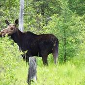 moose by temagami