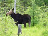 moose by temagami - North Bay, ON
