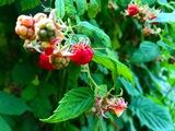 Raspberries - Vancouver, BC