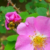 wild rose and friends