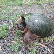 Snapping turtle at the door...