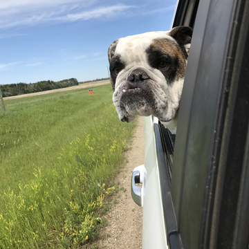 Gobber enjoying a ride in the country.