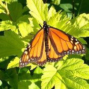 Monarch Butterfly... King of the butterflies