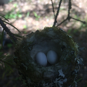 Humming bird eggs from bobtail lake B.C.
