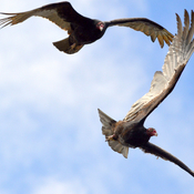 Turkey Vultures