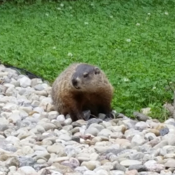 big groundhog