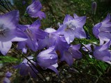Wild bluebells - Kimberley, BC