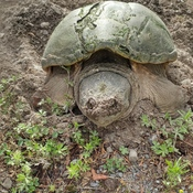 mother turtle laying her eggs.