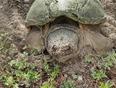 mother turtle laying her eggs. - Bayridge, ON
