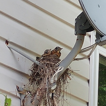 baby robins waiting for mom to bring food