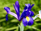Iris in the garden - Sooke, BC
