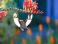 Peter the hummingbird - Sooke, BC