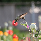 Peter the hummingbird