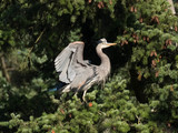 Great Blue heron - Tsawwassen, Delta, BC