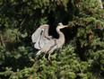 Great Blue heron - Tsawwassen, Delta, BC