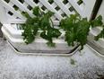 plant de concombre mitrailler par la grêle  - Saint-Jean-Chrysostome, QC