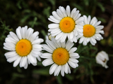 Daisies - Richmond Hill, ON