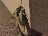 Pandora Sphinx Moth - New Tecumseth, ON, CA