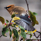 Cedar waxwings come for a visit💛