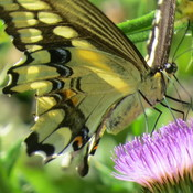 Swallow Tail & Bull Thistle