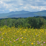 Buttercups and mountains