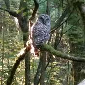 Early morning Owl encounter