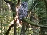 Early morning Owl encounter - Coquitlam, BC