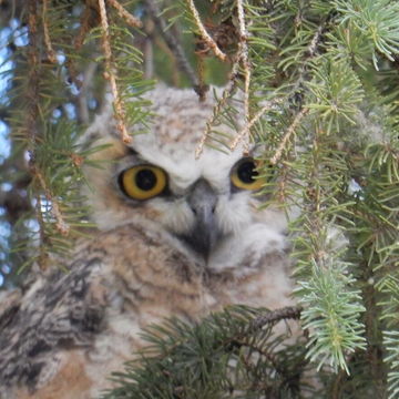 Young owl in stavely Alberta