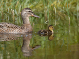 Mrs. Mallard and duckling - Kingston, ON