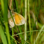 Goldfish in weeds......