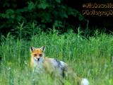 Quirk Fox - Elliot Lake, ON