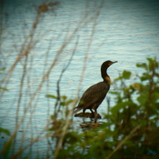 cormorant on the shore