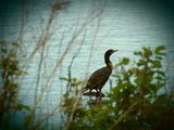 cormorant on the shore - 375 Island Dr, Thunder Bay, ON P7C 3G8,