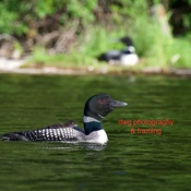 Loon pair and chick