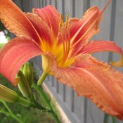 Tiger Lily time