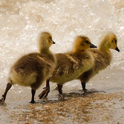 Goslings on the beach.