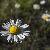 Oxeye Daisies at Burnt Lands Alvar