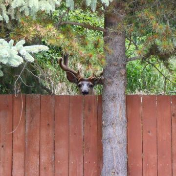 Peeking deer