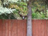 Peeking deer - Quesnel, BC