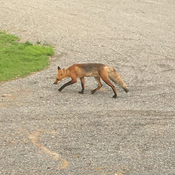 Mr Fox takes a stroll along the lane way