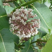 common milkweed in full bloom