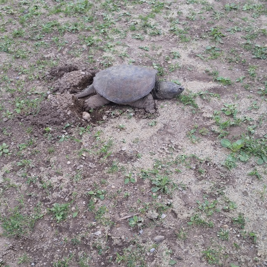 turtle laying eggs London, ON
