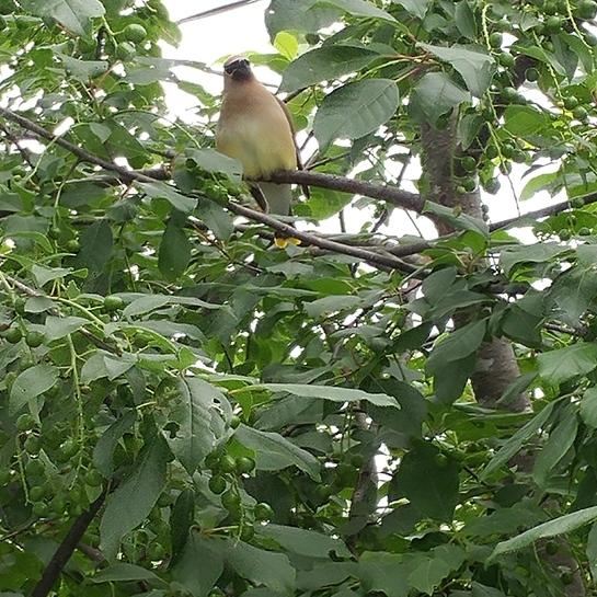 oiseau Saint-Constant, QC