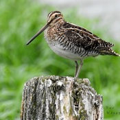 A Wilson's Snipe