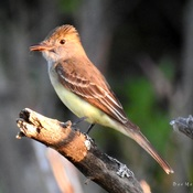 Great Crest Flycatcher