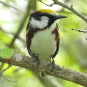Another Chestnut-sided Warbler
